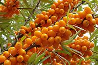 Облепиха - ягоды